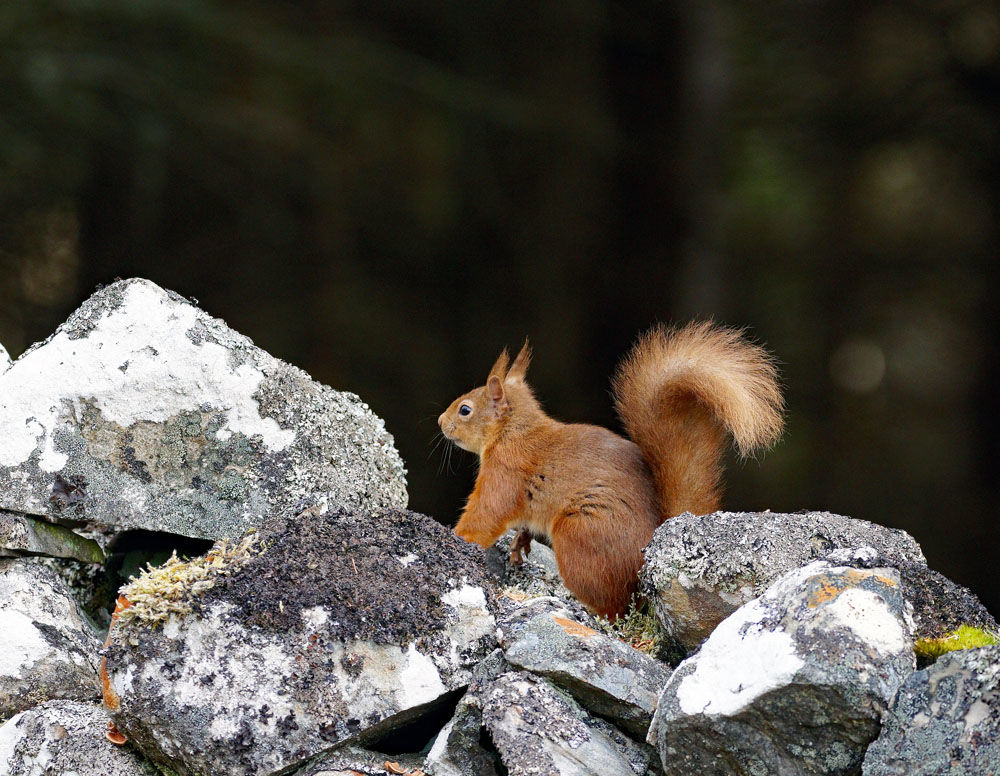 Red Squirrel on Wall