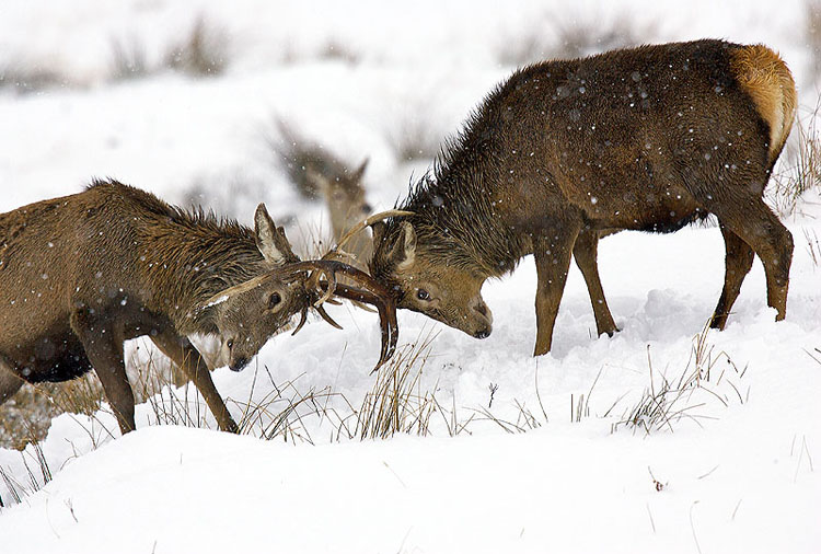 Fighting Stags