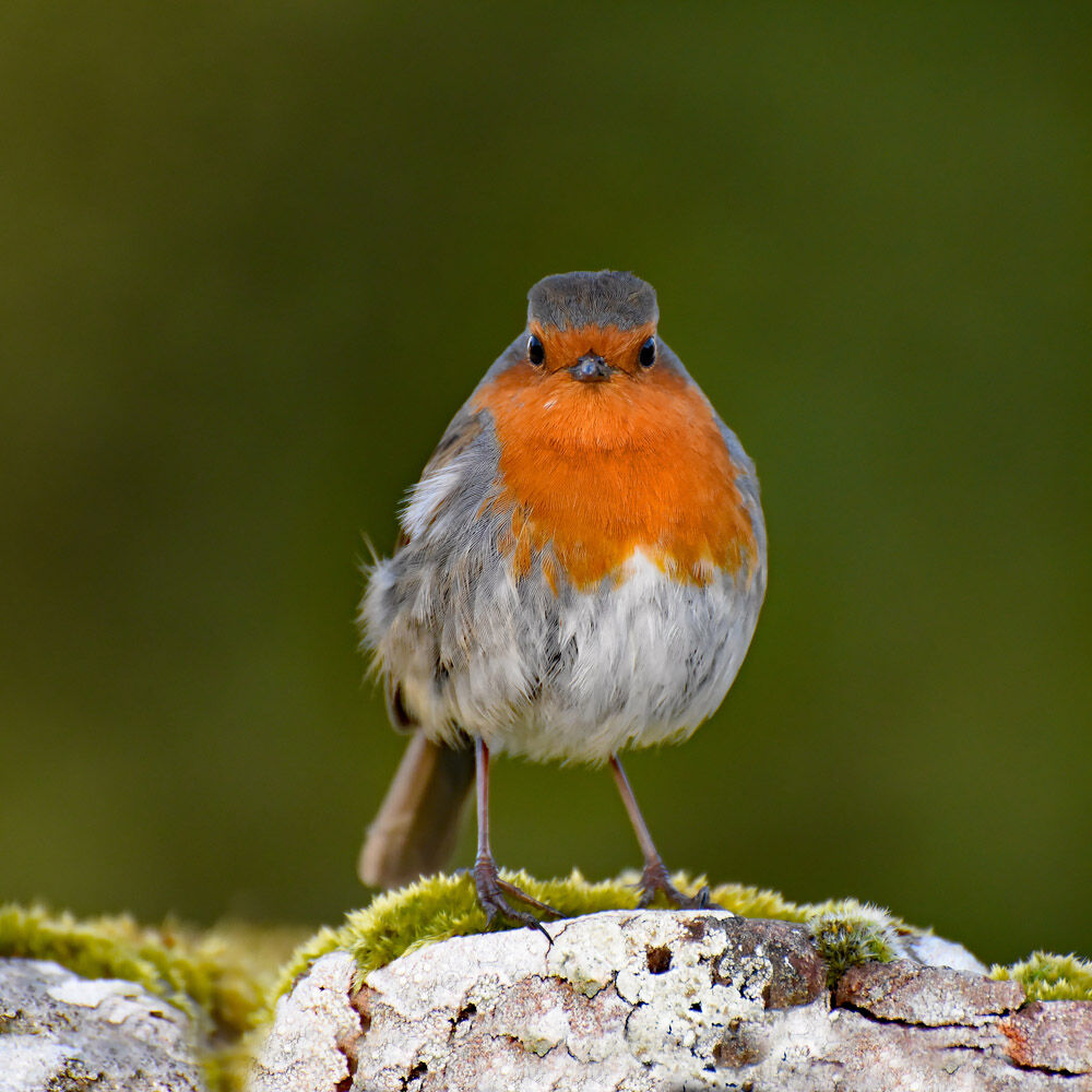 Robin Red Breast, Watching Over You