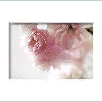 rosa vår