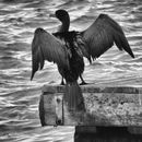 Cormorant drying its wings by Maggie Slingsby