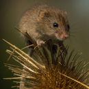 Harvest Mouse - Kay Marples