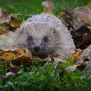Hedgehog - Kay Marples