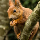 Red Squirrel - Kay Marples