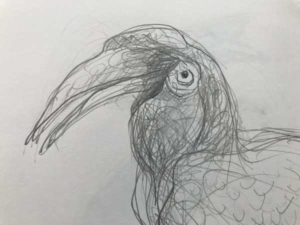 Portrait study of a hornbill