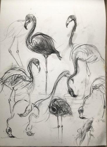 Live studies of pelicans