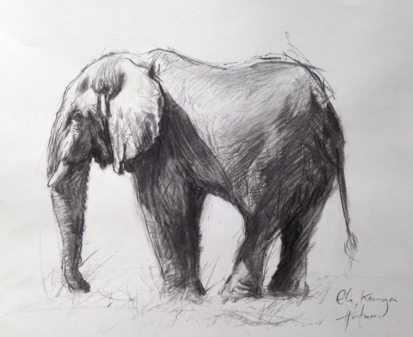 Study of an African bull elephant
