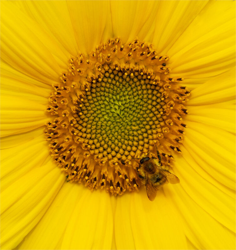 Sunflower and guest