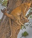 Perched Leopard