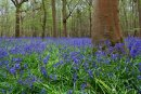 Stoke Wood Bluebells