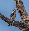 Pied Kingfishers Lunch