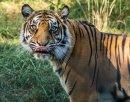 Delicious Tiger