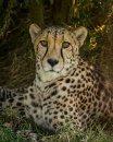 Soulful Cheetah