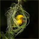 Busy Weaver bird