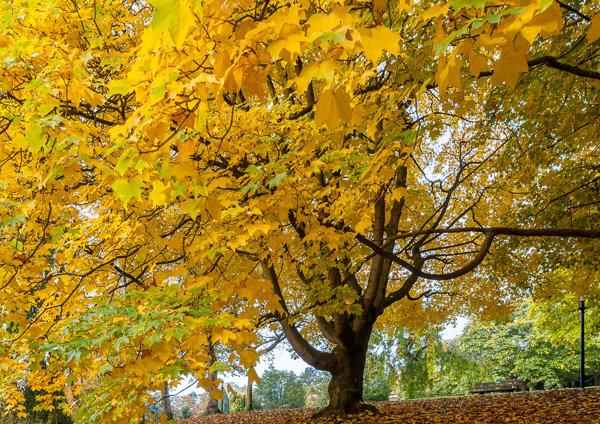 Autumn Gold Harrogate