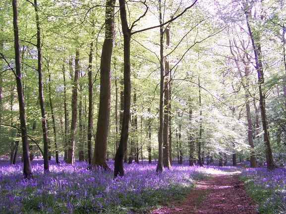 My Regular Bluebell Walk