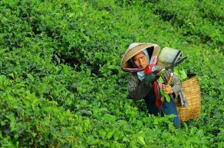 danurwendho-adyakusuma-tea plantation