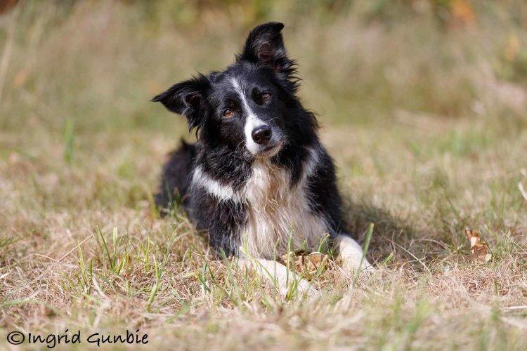 Working Sheepdog/Border Collie