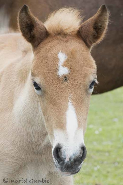 A New Forest foal