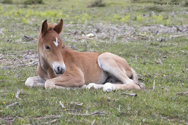 This little New Forest stallion needed a rest
