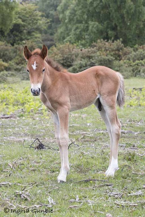A beautiful New Forest foal