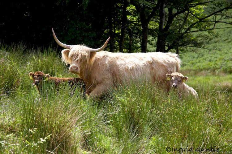 A Higland cow with her two calves
