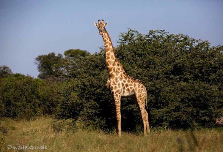 A Souther Giraffe