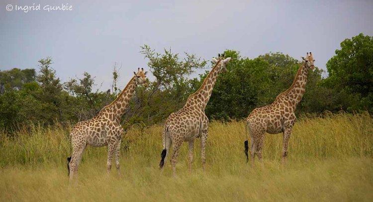 Southern Giraffes