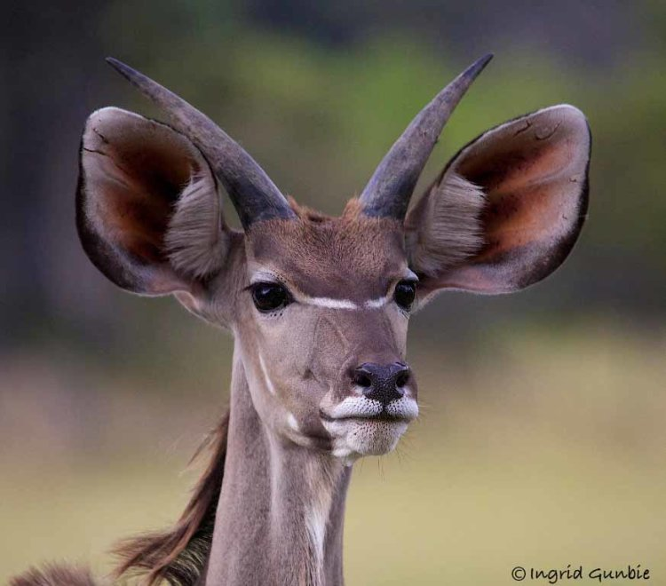 A young male Kudu