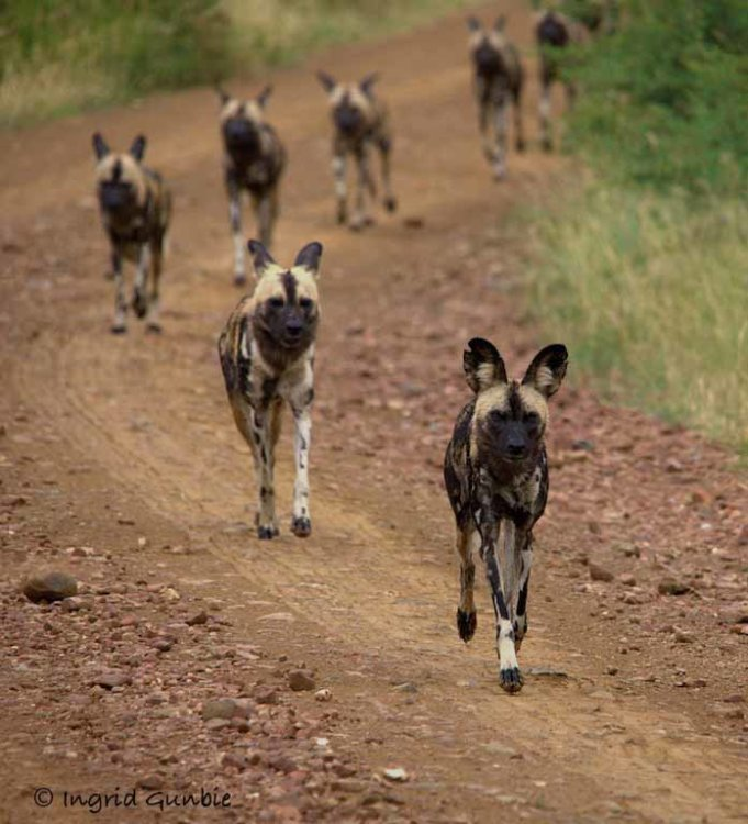African Wild Dogs on the move!