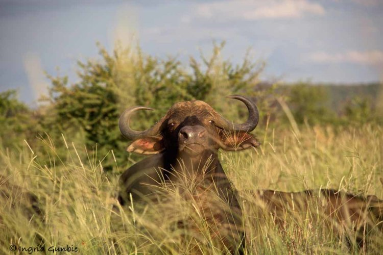"""""""I know you are there!""""  Cape Buffalo"""