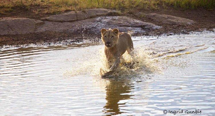 A young Lion having fun!