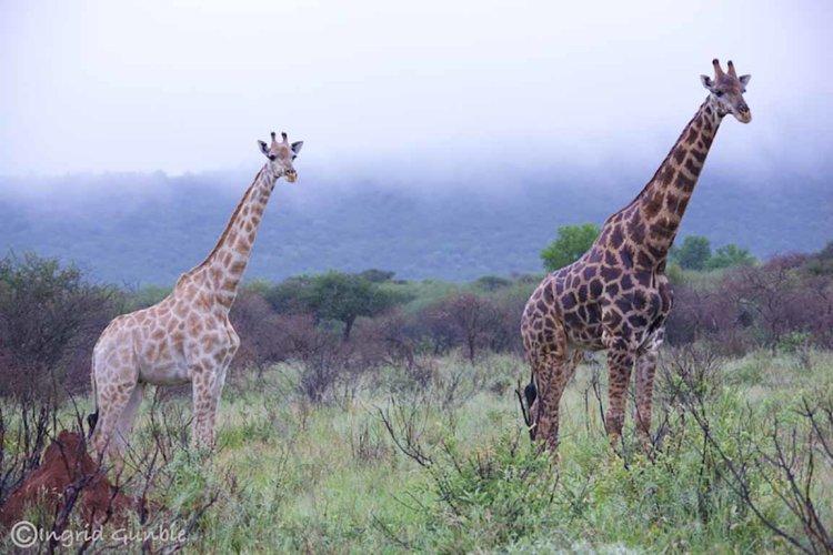 Giraffes in the morning mist!