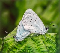 A PAIR OF MATING HOLLY BLUES (CELASTRINA ARGIOLUS)