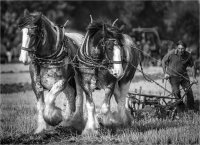 HEAVY HORSES AT THE PLOUGHING MATCH