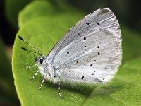 HOLLY BLUE BUTTERFLY CELASTRINA ARGIOLUS
