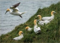 NORTHERN GANNETS (MORUS BASSANUS) COLLECTING NEST MATERIAL