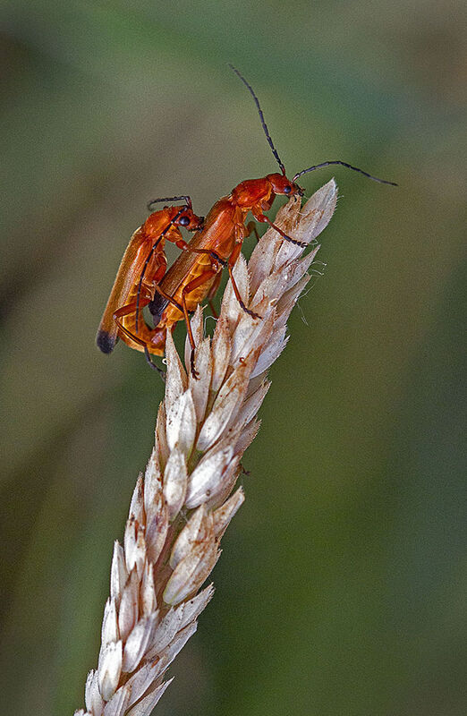 PYROCHROA SERRATICORNIS BEETLES MATING