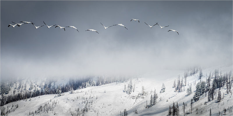 WHITE PELICANS IN GRAND TETONS NATIONAL PARK