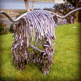 Our lovely Lachy highland cow