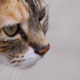 Animal - Cat (Felis catus) - Concentration
