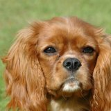 Animal - Dog (Canis lupus familiaris) - Brambles, the Ruby Cavalier King Charles Spaniel