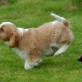 Animal - Dog (Canis lupus familiaris) - Cavalier puppy under heavy braking