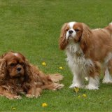 Animal - Dog (Canis lupus familiaris) - King Charles Cavaliers Brambles and Shadow