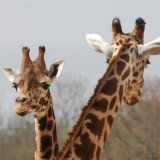 Animal - Giraffe (Giraffa camelopardalis) - Two heads are better than one