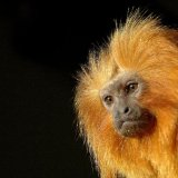Animal - Golden Lion Tamarin Monkey (Leontopithecus rosalia)