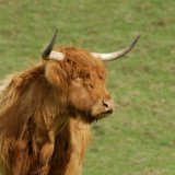 Animal - Highland Cow (Kyloe) - A fine specimen
