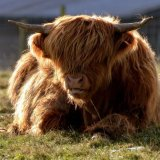 Animal - Highland Cow (Kyloe) - Resting