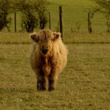 Animal - Highland Cow (Kyloe) - Who are you looking at?