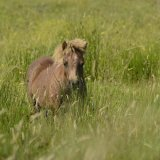 Animal - Horse (Equus ferus caballus) - Brown Shetland Pony in long grass (Landscape)